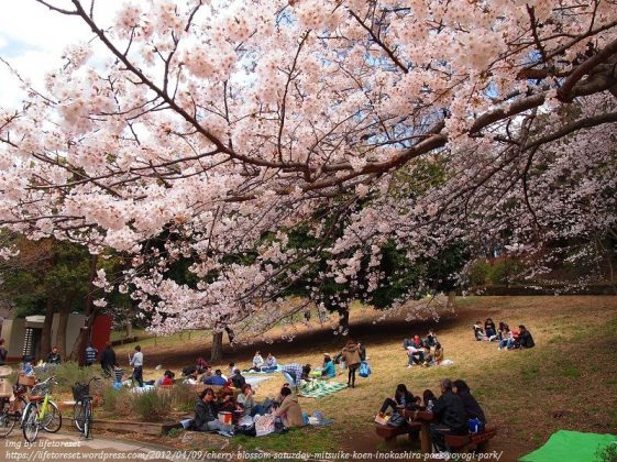 Image Photo of 10 Things You Have To Do In Tokyo - Yoyogi Park Cherry Blossom Pictures