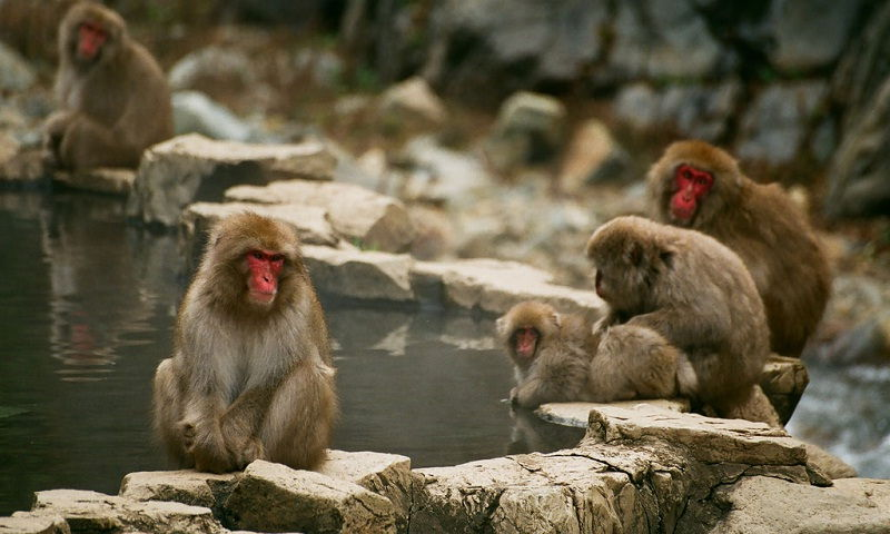 Image Photo of which cities to visit in japan monkeys at ajigokudani monkey park nagano Pictures